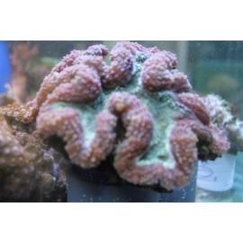 Lobophyllia SPP.