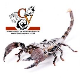 Escorpion Emperador