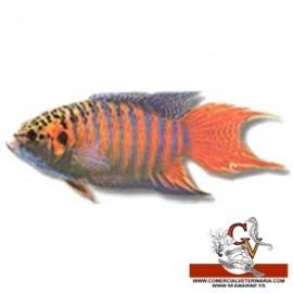 pez paraíso, macrópodo
